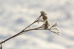 Närbilden av den torkade svarta tistelörtväxten som täckas med snö och frost på solig det fria för ljusa vitblått, kopierar utrym royaltyfria foton