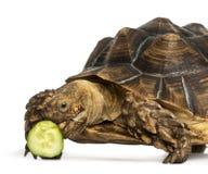 Närbilden av en afrikan sporrade sköldpaddan som lite äter av gurkan Royaltyfria Foton