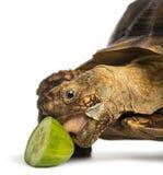Närbilden av en afrikan sporrade sköldpaddan som lite äter av gurkan Royaltyfri Bild