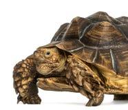 Närbilden av en afrikan sporrade sköldpaddan som ser kameran Royaltyfri Bild