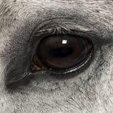 Närbilden av en Andalusian synar, 7 gammala år, också bekant som den rena spanska hästen Royaltyfri Fotografi
