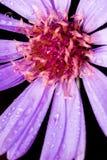 Närbilden av en härlig violett blomma med vatten tappar på en peta Arkivbilder