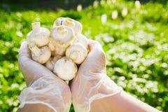 Närbilden av en hand för bonde` s i rubber genomskinliga handskar rymmer champinjonchampignons Royaltyfri Foto
