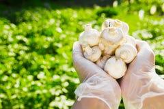 Närbilden av en hand för bonde` s i rubber genomskinliga handskar rymmer champinjonchampignons Arkivbild