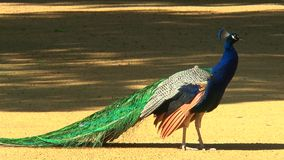 Närbilden av en påfågel, som ser in i kameran, och går därefter ut ur ramen lager videofilmer