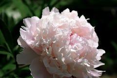 Närbilden av en rosa pion som är upplyst vid solen, rays arkivbild