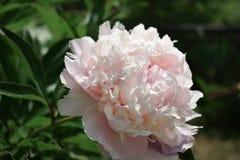 Närbilden av en rosa pion som är upplyst vid solen, rays royaltyfri bild