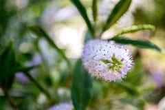 Närbilden av en vår blommar Arkivfoton