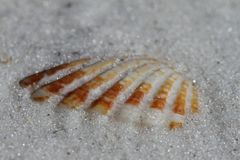 Närbilden av ett atlantiskt jätte- bubblaskal grundar begravt i sand royaltyfria bilder