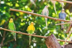 Närbilden av förtjusande ljusa papegojor eller melopsittacusundulatusen sätta sig på en träfilial arkivbilder