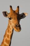 Närbilden av giraffhuvudet och hånglar Royaltyfri Foto