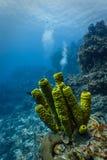 Närbilden av gröna rörsvampar med dykare bubblar i bakgrund på den karibiska korallreven Arkivfoton