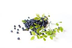 Närbilden av gröna stam- och blåbärsidor på vit isolerade bakgrund Begreppet av sund mat, vitaminer royaltyfria bilder