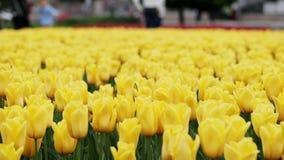 Närbilden av gula tulpan som blommar på härligt, parkerar, många blommor arkivfilmer