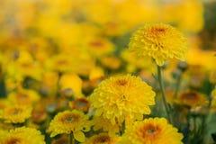 Närbilden av guling blommar med mjuk-fokusen i solljus Arkivbild