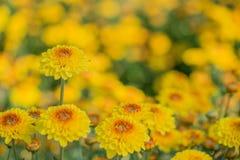 Närbilden av guling blommar med mjuk-fokusen i solljus Royaltyfri Fotografi