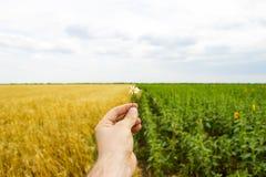 Närbilden av händer och en tusensköna blommar, ett fält av solrosor och vete i bakgrunden Royaltyfria Foton