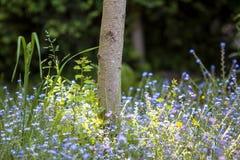 Närbilden av härliga mjuka lösa blått och gula små blommor tände av sommarsolen som blommar lavishly under trädstammen på suddig  royaltyfri foto