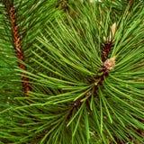 Närbilden av jul sörjer bakgrund för granträdfilialer Arkivfoton