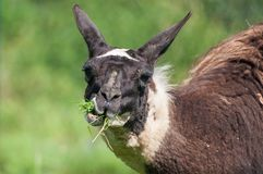 Närbilden av laman som tuggar gräs betar på royaltyfri fotografi