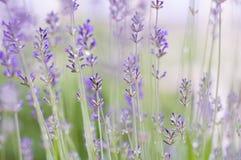Lavendelnärbild Royaltyfria Bilder