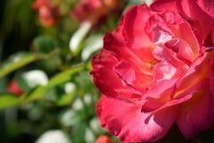 Närbilden av ljust rosa blomma steg royaltyfri fotografi