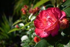 Närbilden av ljust rosa blomma steg royaltyfri bild