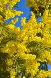 Närbilden av mimosan i blom, försilvrar wattlen, akacian Dealbata