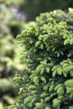 Närbilden av piceaen abies Inversa, trädgårds- gran Selektivt fokusera och bli grund djup av sätter in Royaltyfri Bild