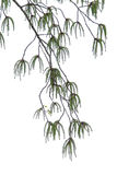 Poplarblomma Arkivfoto