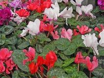 Närbilden av röd, rosa, purpurfärgad, violett och vit cyklamen blommar naturlig texturbakgrund arkivbild