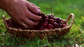 Närbilden av röda körsbärsröda bär tar en hand från ett korganseende på det gröna gräset lager videofilmer