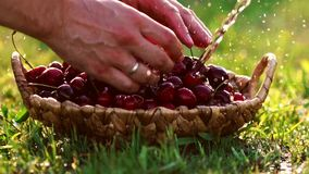 Närbilden av röda körsbärsröda bär tar en hand från ett korganseende på det gröna gräset arkivfilmer