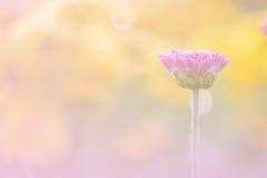 närbilden av rosa färger blommar med mjuk-fokusen i solljus Arkivbild