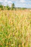 Närbilden av vete gå i ax i fältet med ogräset Arkivbild