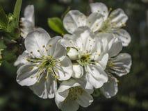 Närbilden av vita körsbärsröda blommor blomstrar i vår Mycket vita blommor i solig vårdag royaltyfri bild