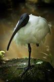 Svart Head Ibis. Fotografering för Bildbyråer