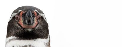 Närbilden beskådar av en pingvin, isolerat Arkivbilder