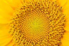 Full blom för solros Arkivbilder
