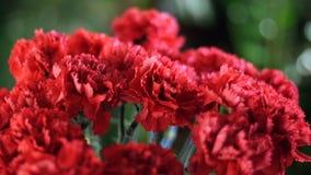 Närbilden blommabukett i strålarna av ljus, rotation, den blom- sammansättningen består av ljus röd turkisk nejlika stock video