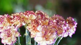 Närbilden blommabukett i strålarna av ljus, rotation, den blom- sammansättningen består av nejlikaturkpersikan lager videofilmer