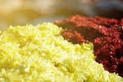 Närbilden blommar att blomma Grupp av vibrerande färgrika blommor som blommar i nedgång arkivbild