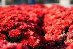 Närbilden blommar att blomma Grupp av vibrerande färgrika blommor som blommar i nedgång royaltyfri fotografi