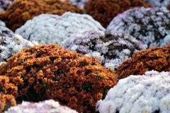 Närbilden blommar att blomma Grupp av vibrerande färgrika blommor som blommar i nedgång royaltyfria foton