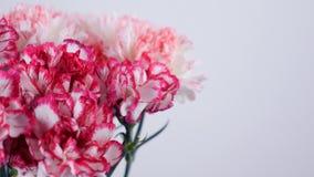 Närbilden blommor, buketten, rotation, blom- sammansättning består av försiktigt ljus - rosa turkisk nejlika arkivfilmer