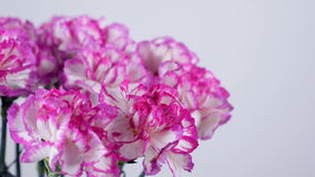Närbilden blommor, buketten, rotation på vit bakgrund, blom- sammansättning består av ljus purpurfärgad turkisk nejlika lager videofilmer