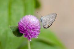 Närbilden för makro för blomma för knapp för jordklotAmaranth eller ungkarlsköt i natur Arkivbilder