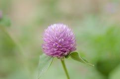 Närbilden för makro för blomma för knapp för jordklotAmaranth eller ungkarlsköt i natur Arkivbild