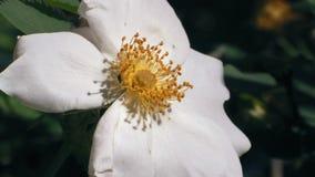 Närbilden makro, lilla Moss Creeps On Flower And samlar nektar lager videofilmer