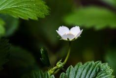 Närbilden och blir grund fokusen av en jordgubbeblomma Royaltyfria Bilder